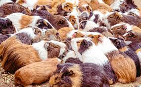 Pet smart: Homes sought for hundreds of guinea pigs - New York Daily News