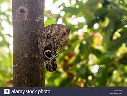 Caligo eurilochus den Wald riesen Eule, sitzen auf dem Baum, ventrale  Ansicht. Eule Schmetterlinge, die Gattung Caligo (Dunkelheit), sind für  ihre großen Augen bekannt Stockfotografie - Alamy