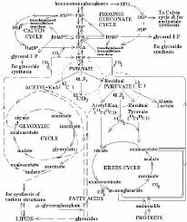 The Simplified Diagram Depicting Temporal Organization Of