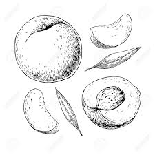 Peach vector drawing isolated hand drawn full and sliced pieces 73815643 peach vector drawing isolated hand drawn full and sliced pieces photo 73815643