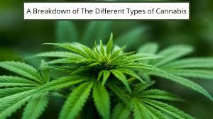 different cannabis
