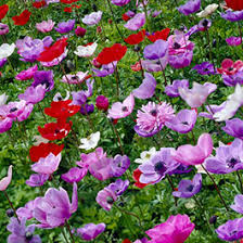anemone flower bulbs bulb flower types21