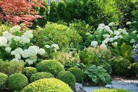 a charming plant combination for shady gardens hydrangea japanese maple and boxwood