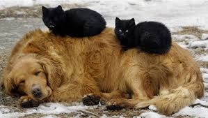 dog and cat sleeping together. Contemporary Sleeping 08catssleepingondogs Inside Dog And Cat Sleeping Together G