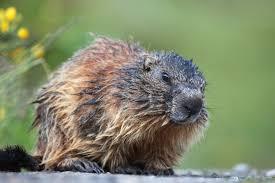 getting rid of groundhogs mothballs. Brilliant Groundhogs How To Get Rid Of Groundhogs  Woodchuck Pest Control The Old Farmeru0027s  Almanac In Getting Of Mothballs R
