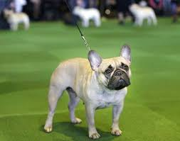 French Bulldog Height Chart Labs Still Lead But French Bulldogs Leap In Popularity In Us
