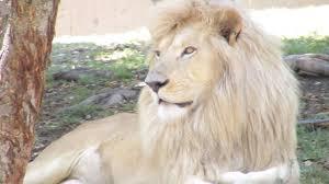 lion wallpaper hd widescreen. Brilliant Widescreen HD White Lion Backgrounds And Wallpaper Hd Widescreen