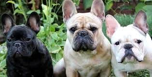 grown white french bulldog. Brilliant Bulldog Size Full Grown French Bulldog Breed Information Intended White