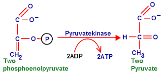 Glycolysis Function Of Glycolysis Stages Of Glycolysis Biology