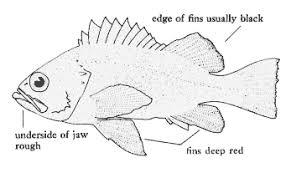 Grouper Species Chart Grouper Fish Diagram Wiring Diagrams