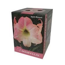 gift box amaryllis apple blossom