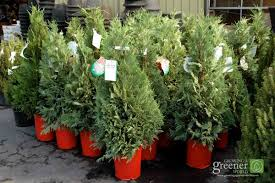 LivingChristmasTree-GrowingAGreenerWorld.com. There are many options for  living Christmas trees ...