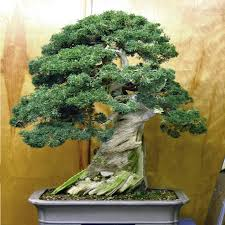 juniper bonsai tree seeds potted flowers office bonsai purify the air absorb harmful gases 100pcs bonsai tree office