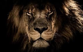 lion wallpaper hd widescreen. Plain Widescreen Preview Wallpaper Lion Muzzle Mane Predator Look Intended Lion Wallpaper Hd Widescreen