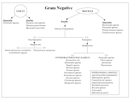 Gram Negative Bacteria Chart My Scientific Blog Research And Articles Identification