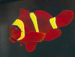 Clown Fish Identification Chart Maroon Clownfish Premnas Biaculeatus Spinecheek Anemonefish