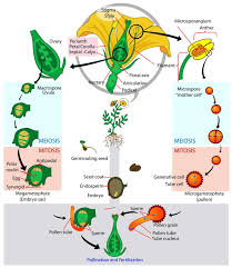 Flower Life Cycle Diagram - Pictures, Photos & Images of Plants ...