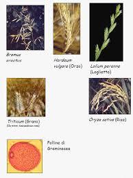 Graminaceae o Poaceae - ARPA Umbria