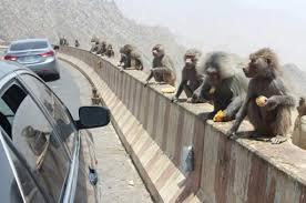 خصي قرود البابون في المملكة العربية السعودية لان عددها تجاوز ثلاث مئة وخمسون  الف قرد ،  خصي القرود في منطقة عسير والباحة وجيزان ونجران Images?q=tbn:ANd9GcRjJznnP9JvA68O2NEYKG6Txh7s0wgJq6OqhCnGQ91m0K9dSPvtYw