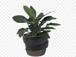 zamioculcas zamiifolia houseplant hirts gardens flower flowerpot png