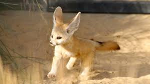 newborn fennec fox.  Newborn Taronga Zoo Welcomes Energetic Fennec Fox Baby As It Emerges From Nesting  Box  ABC News Australian Broadcasting Corporation In Newborn Fennec Fox E