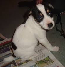 jack russell terrier border collie mix. Perfect Terrier The Back Right Side Of A White Black And Tan Tricolor Border Jack Puppy  That Jollie The Jack Russell Terrier  Collie Mix As  And Mix