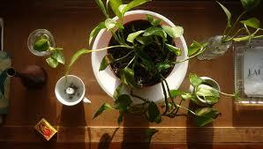 plants feng shui home layout plants. Pathos, Apartment Plants Feng Shui Home Layout O