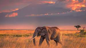 Wallpaper One elephant, grass, clouds ...