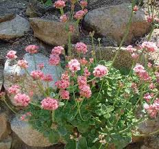 eriogonum grande rubescens red buckwheat in a rock wall grid24 6