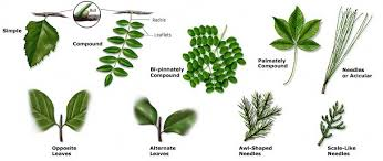 Tree Leaf Identification Chart Texas Forest A M Service Trees Of Texas How To Id