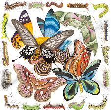 Moth Identification Chart Butterflies Moths Caterpillars Fine Art Of Lucy Arnold