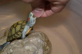 picture of how to clean an aquatic turtle tank