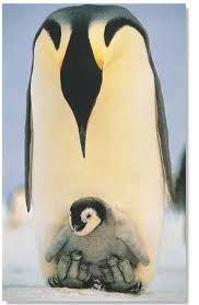 emperor penguin egg. Fine Penguin BREEDING Most Of The Penguinu0027s Body Is Covered With 33 Feathers To A  Square Inch On Emperor Penguin Egg D