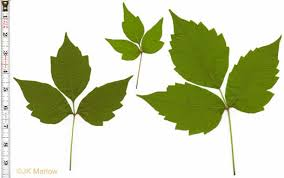 images of poison ivy leaves