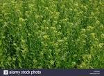 false flax