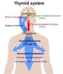 Thyroid Anatomy Thyroid Wikipedia