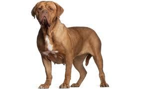 <b>Dogue de Bordeaux</b> Dog Breed Information, Pictures ...