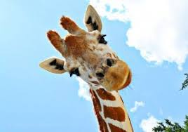 pictures of a giraffe. Interesting Pictures For Many Of Our Friends Clients Partners And Connections The Culture  Coachesu0027 Logo A Giraffe Is Familiar Sight We Are Often Asked U201cWhy The Giraffe To Pictures Of A