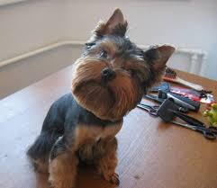 yorkie hairstyles for males