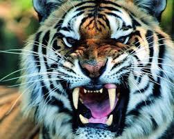 Tiger wallpaper ...