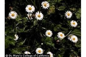 Plants Profile for Bellis perennis (lawndaisy)