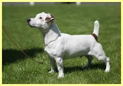 Labrador Retriever - Golden Retriever - Jack Russell | Kowalski