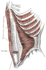 Abdomen Anatomy Definition Function Muscles Biology