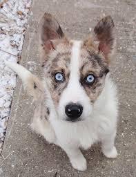 australian shepherd husky mix puppies. Australian Shepherd And Siberian Husky Mix Puppies Before You In