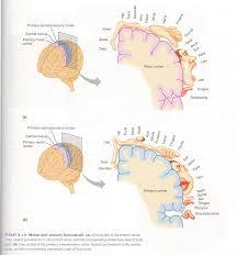 e presente un diagrama del homúnculo sensorial 1 f enumere los núcleos subcorticales 1 g describa la estructura y función del sistema límbico