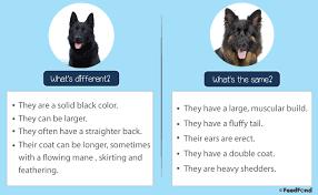 Black German Shepherd Dog Breed Guide For 2019