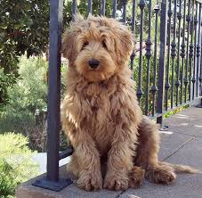 Small Picture i love this dog Australian Labradoodle Dogs So Cute Puppy