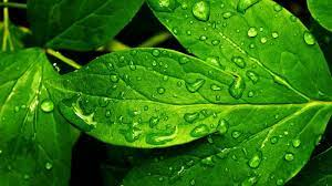 Green nature wallpaper, Green leaf ...
