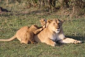 understanding lion infanticide africa