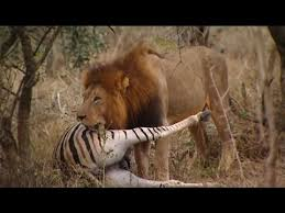 wild animals in african jungle. Wonderful African Lions Documentary  U0027THE KINGS OF THE AFRICAN JUNGLEu0027 Animal Night For Wild Animals In African Jungle L